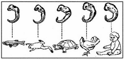 Ernst Haeckel féle elmélet