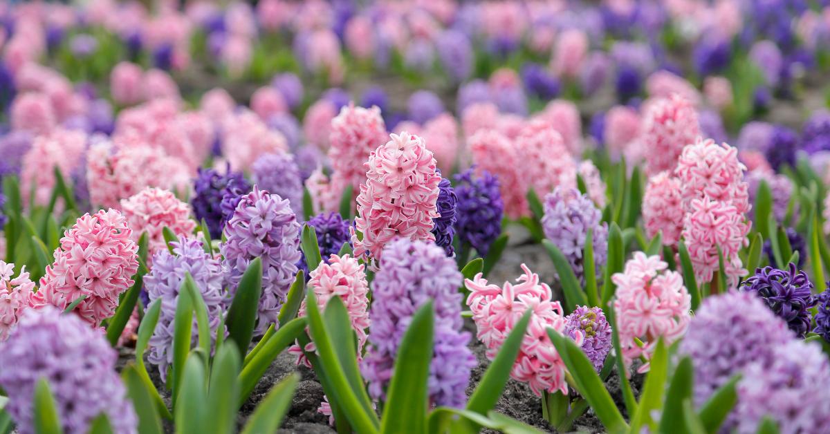Tavasz a Feng Shui erejével - a szerelem terület harmonizálása cserepes jácinttal
