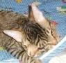 Sztereóban dorombol a kétfejű cica