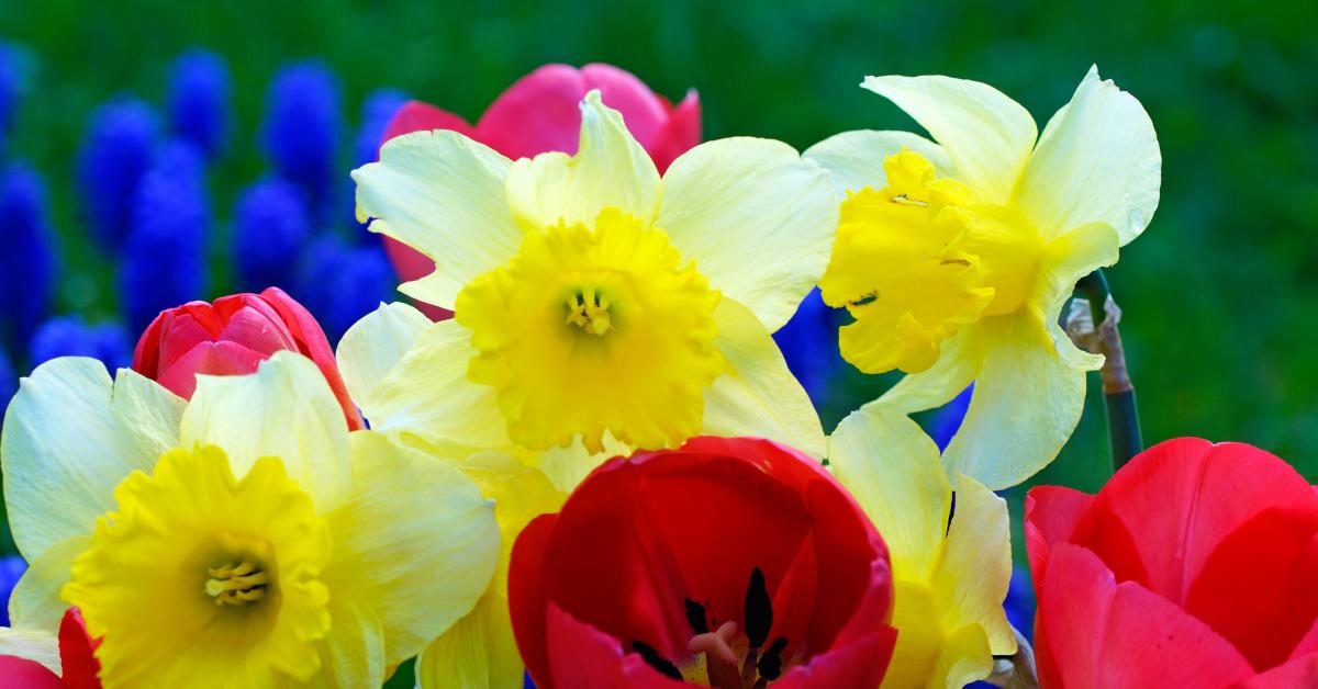 Jácint, nárcisz, tulipán: a tavaszhírnök virágok gondozása