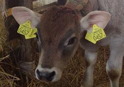 Így repülnek a tehenek Krisna-völgyben - videóval
