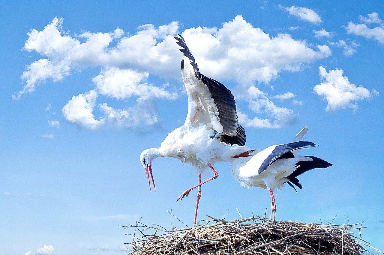 Megszámolták, egyre kevesebb gólyánk van